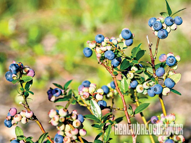Grow Dwarf blueberries on your food forest.