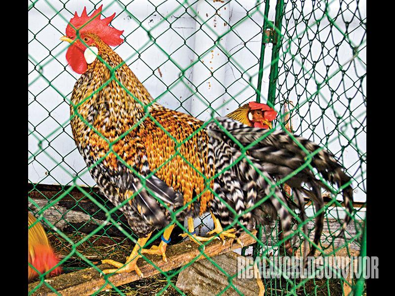 Cream Legbars chicken