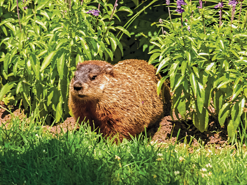 Groundhogs can destroy your garden.