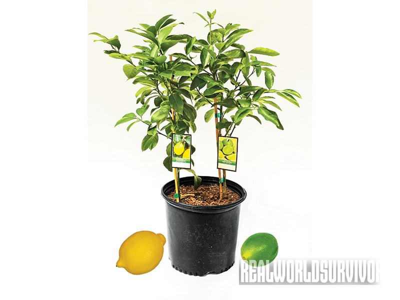 Reap the benefits of growing lemons.