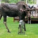 Have a secure fence to keep moose out of your garden.
