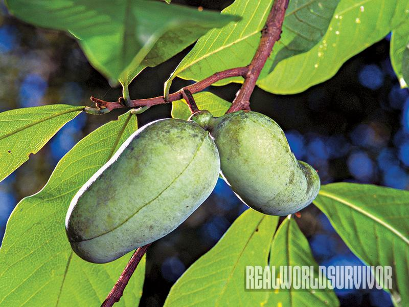 The pawpaw is great for food forest because it's pest-resistant.