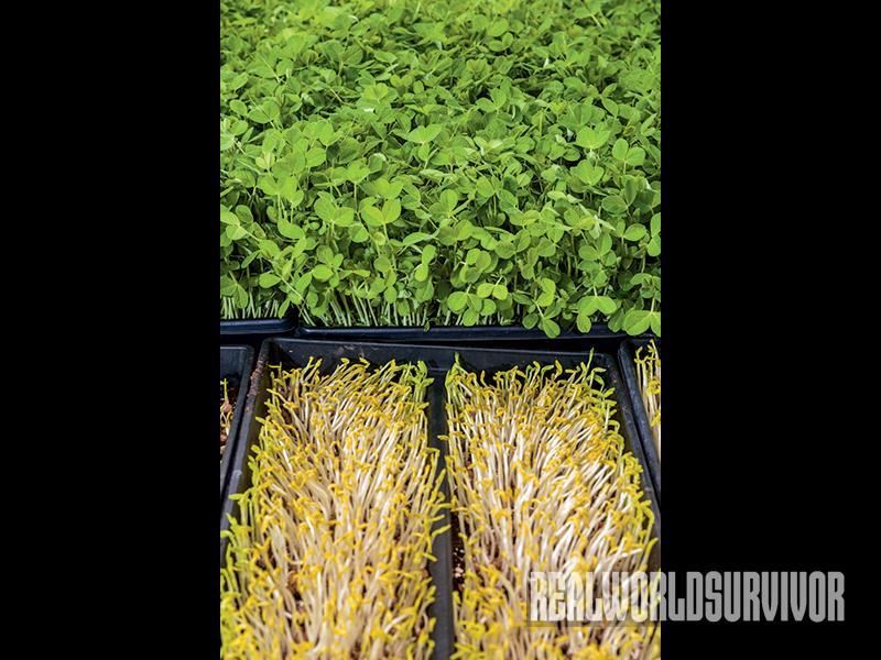 Pea microgreens are ready to harvest at the two weeks old.