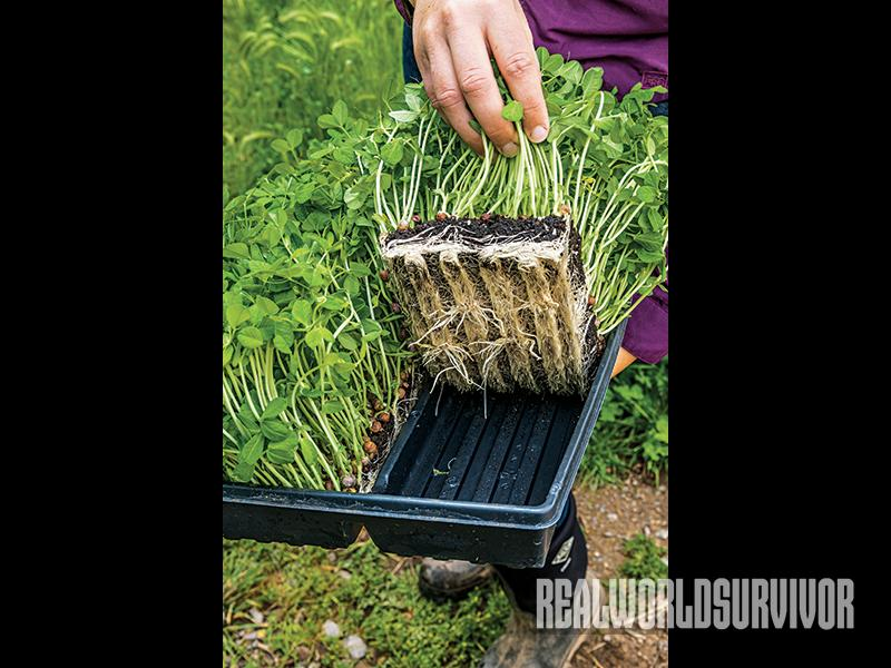 These microgreens are planted in organic soil.