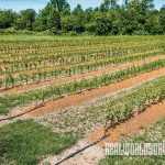 Rootstocks are deeply irrigated so that fruit plants in every row get the water they need.