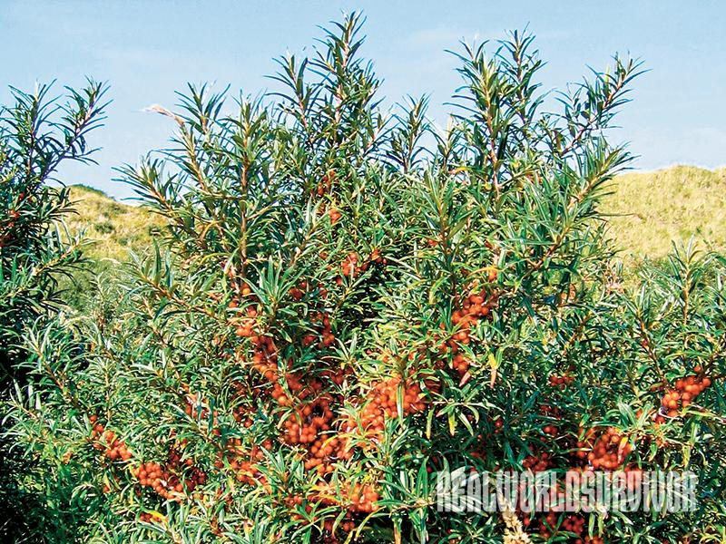 Sea Buckthorn Berries are perfect for a food forest.