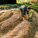 Straw mulch won't suppress weeds unless it is several inches thick.