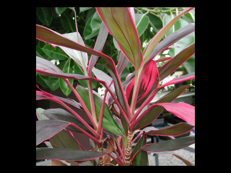 The ti plant