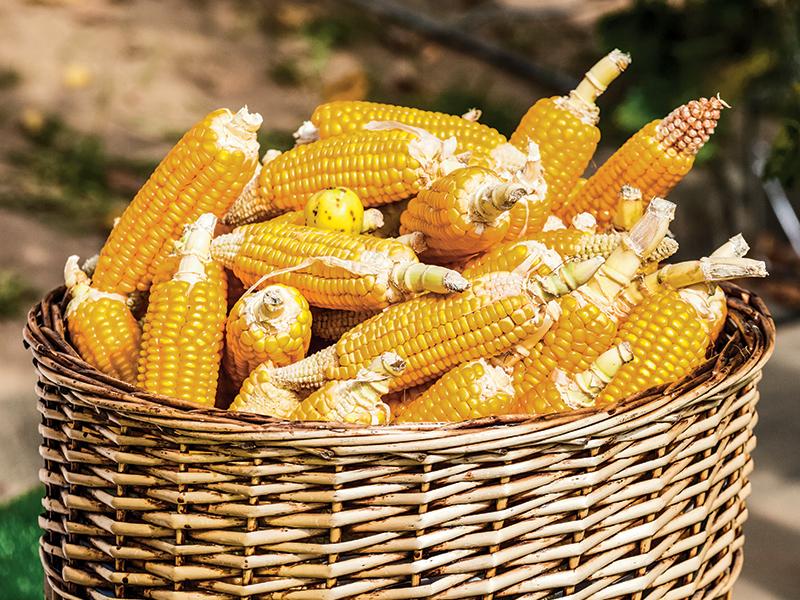 Homegrown corn for corn wine