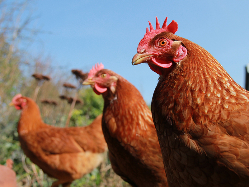 Healthy poultry