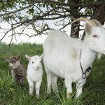 Farmland goats