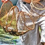 Trap wild fish for food in weirs