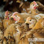 Jacbos Heritage Farm chickens