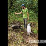 Pigs tilling farmland