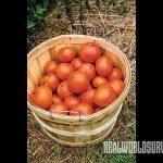 Farmland tomato harvest
