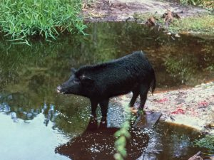 hog hunting in swamps