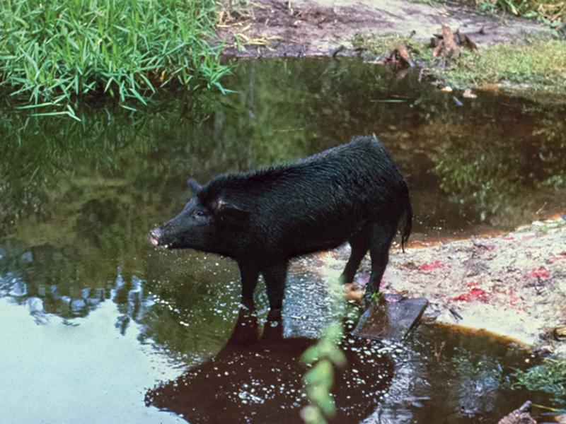 hog hunting in swamps