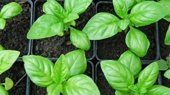 herb garden basil plant