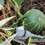 Buffalo Gourd soap plant