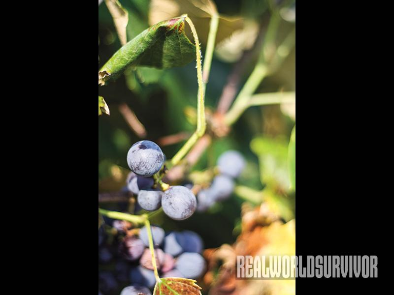winemaking, at home winemaking, concord grapes