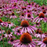 echinacea, natural healer