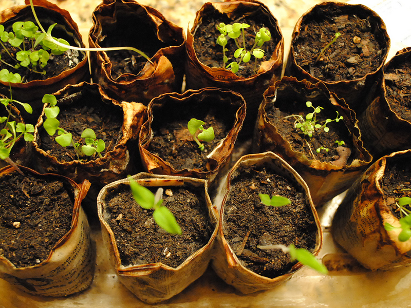 herb garden seedlings