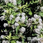Mountain Lilac soap plant