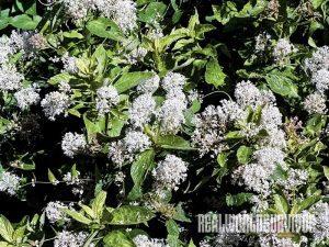 Mountain Lilac soap plant