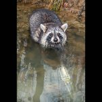 raccoons, pest control, Lil' Grizz Get'rz traps, trapping