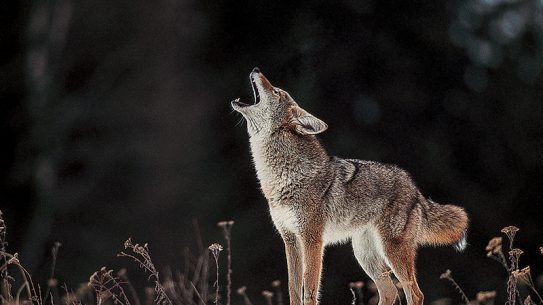 Avoid coyote dangers on the trail and your campsite.
