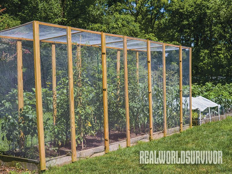 tomatoes, tomato garden, pest control, tomato taj mahal, diy project