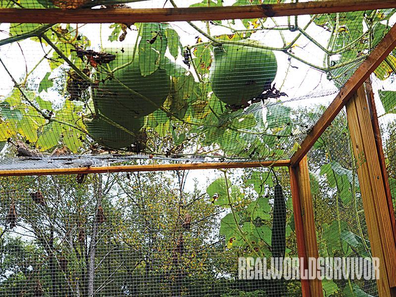 tomatoes, tomato garden, pest control, tomato taj mahal, gourd rack