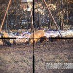 Perfect shot for hog hunting