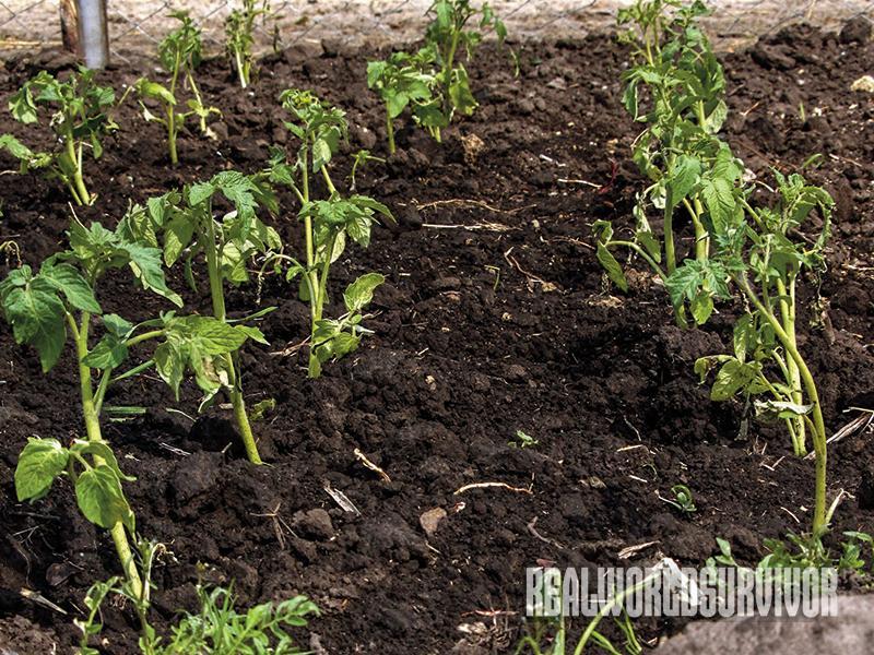 tomato garden, pest control, tomato taj mahal