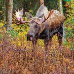 hunting, moose, Alaska, Brooks Range