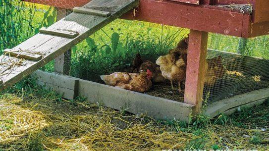 DIY Chicken Coop, hens