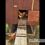 DIY Chicken Coop, chickens