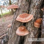 shiitake mushrooms on logs, farming, compost, live stock, harvest, inoculation, protein