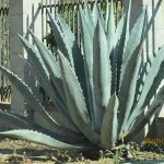 Agave wild plants