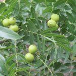 Black Walnut wild plants