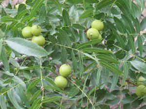 Black Walnut wild plants