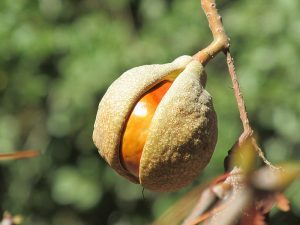 Buckeye Seeds wild plants