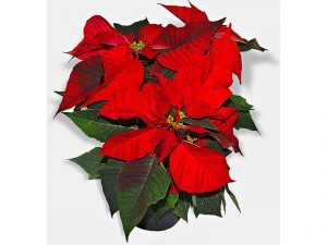 Poinsettia wild plants