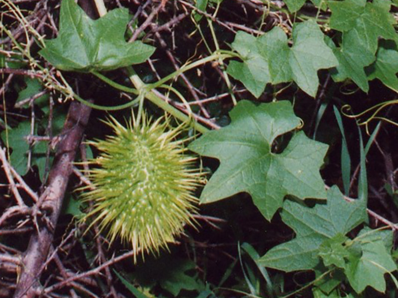 Wild Cucumber wild plants