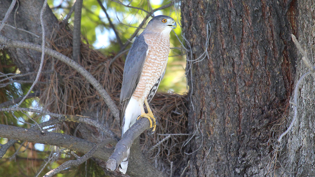 California, hawk, birds of prey