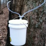 Syrup, tube, sap, bucket