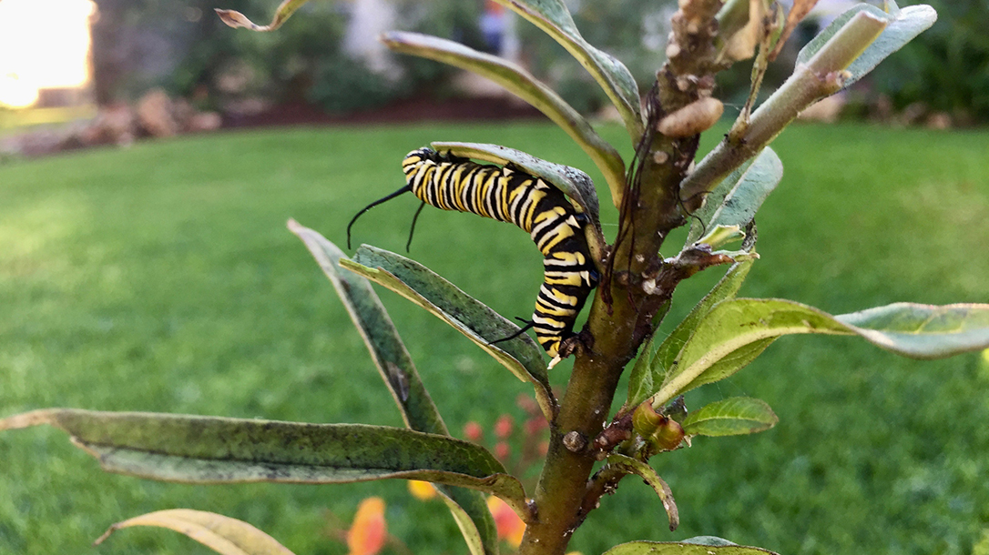 Attracting the Monarch Butterfly catepiller eating milkweed