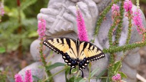 Attracting the Monarch Butterfly--Eastern Swallowtail attracted to bright gardens