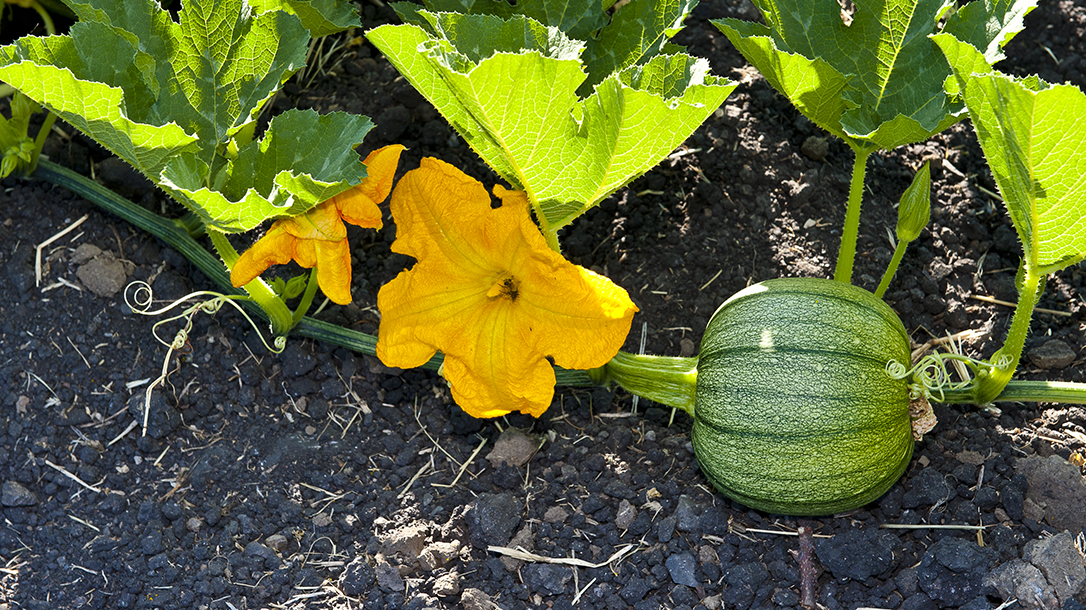 Superior Summer Veggies squash ripe picking