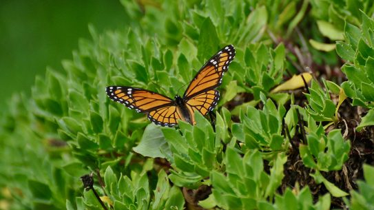 Attracting the Monarch Butterfly soon on the endangered species list